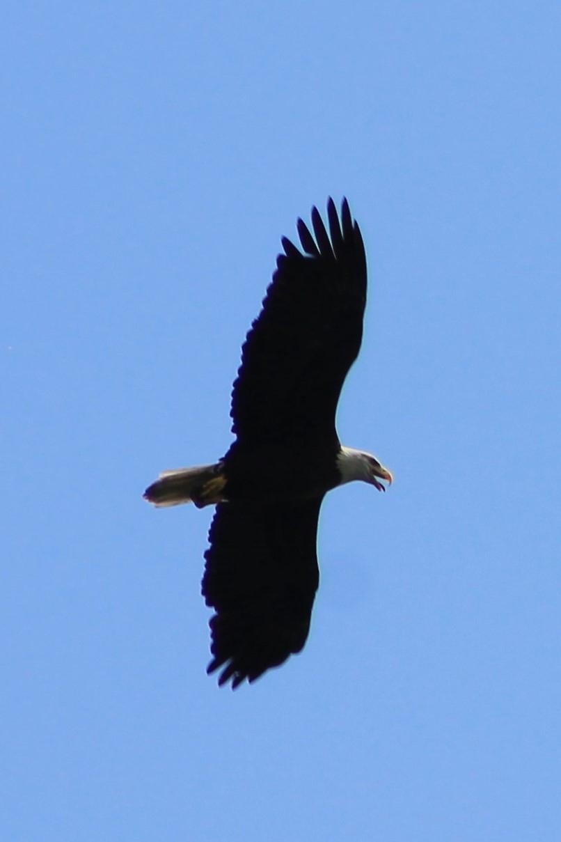 Eagle over Cayuga Lake in Seneca County (photo)